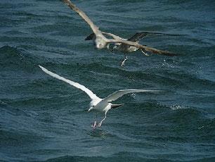 ・2010年2月6日 銚子漁港  ・白変カモメ。 尾羽以外は、純白。 第3回冬羽になると、尾羽の黒帯も消えるはず。 2012年冬が楽しみだ。