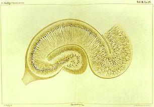 Disegno di Camillo Golgi dell'ippocampo trattato con il metodo del nitrato d'argento.