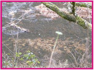Frayère de truite (oeufs enfouis sous les graviers à proximité d'une zone de courant)