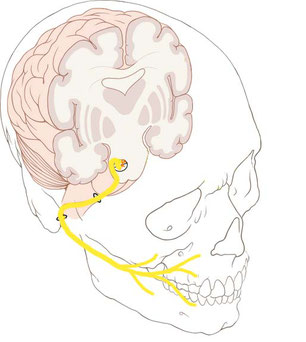 facial nerve tract