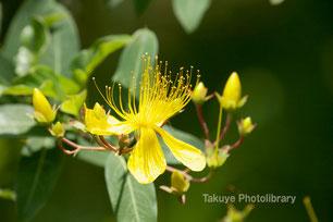 ビヨウヤナギ 沖縄の花
