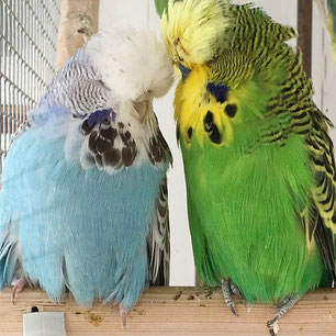Schauwellensittich Budgie Love Wellensittiche Schauwellensittiche