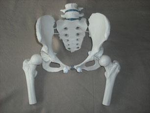 Becken, weiblich, Anatomiemodell Becken