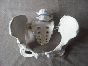 Beckenmodell, LWK 4, LWK 5,  Naturgröße flexibel
