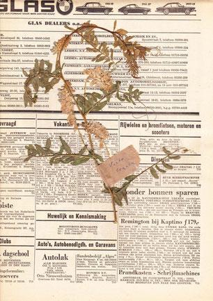 Herbarium Wattel Vicia cracca nog tussen de kranten