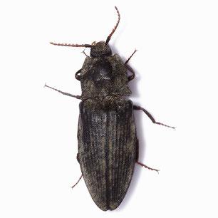 Agrypnus murinus