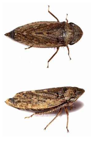 Aphrodes bicinctus