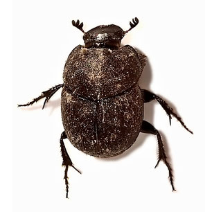Onthophagus (Palaeonthophagus) joannae