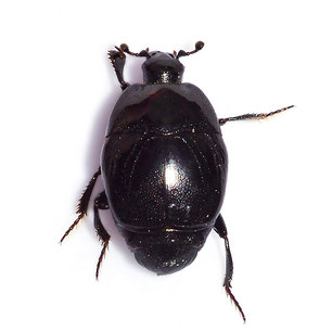 Saprinus (Saprinus) semistriatus