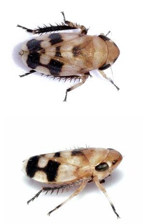 Anoscopus serratulae