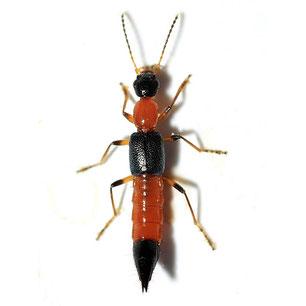 Paederus (Paederus) riparius
