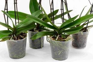 comment arroser les orchidées avec le dispositif d'arrosage OriCine® 9