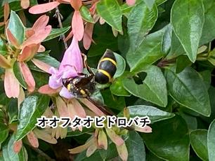 アベリアの蜜を吸うオオフタオビドロバチ