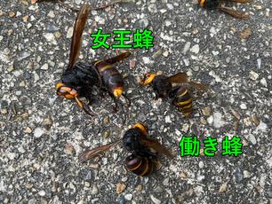 除去した巣の中にいた小型雀蜂3匹