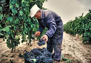 D.O.Ca.リオハの収穫の様子 (www.vinetur.com)