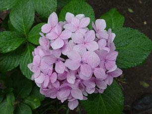 雨に濡れたあじさいの花