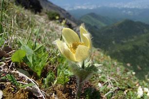 八ヶ岳 ツクモグサ フラワー 登山