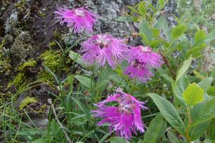 阿弥陀岳 高山植物