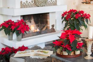 Le Poinsettia, l'Étoile de Noël.