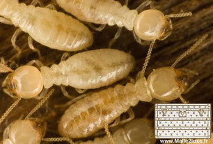 termites malle vuitton et goyard