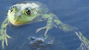 Frosch im Wasser (Foto: T. Holzinger)