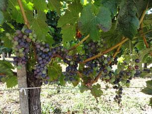 Vignes Château Lambert