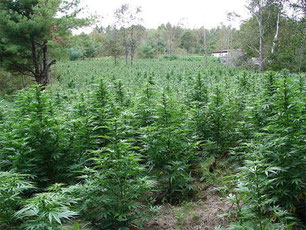 Hanf Cannabis Pflanzen in der Blütephase Outdoor Düngen