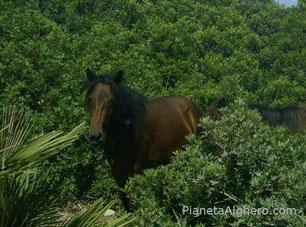 Cavallo selvatico nel Parco di Porto Conte ( Capo Caccia)