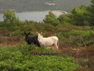 Asinelli albini dall'Asinara nel parco di Porto Conte.