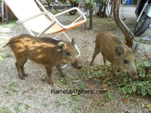 Cinghiali domestici del Parco di Porto Conte (Capo Caccia)