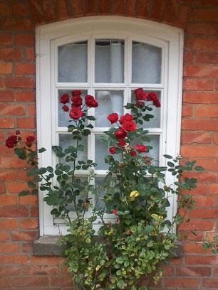 25. Oktober 2015 - Noch kann man sich an den blühenden Rosen am Haus im Schluh erfreuen.
