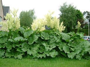 ルバーブの白い花