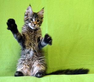 Котята мейн кун питомник