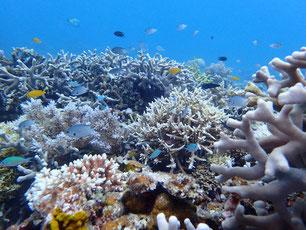 石垣島でのんびりダイビング「サンゴの日」ヒートハートクラブ