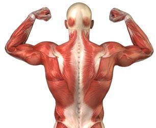 Schema der Muskulatur im Rücken als Illustration