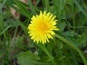 Gelbe Löwenzahnblüte im Gras