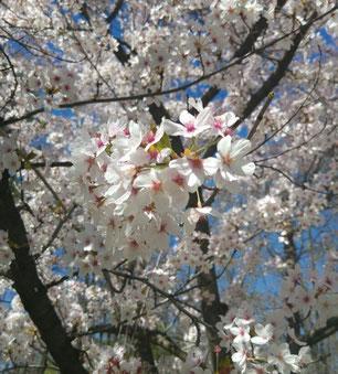 Im Park rund um den Lacul Herăstrău blühen gerade tausende Blumen und Bäume. Taschentuch heißt übrigens batistă auf Rumänisch.
