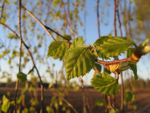 Birkenblätter, Birke, Baum, gesundes Lebensmittel, gesundes Rezept
