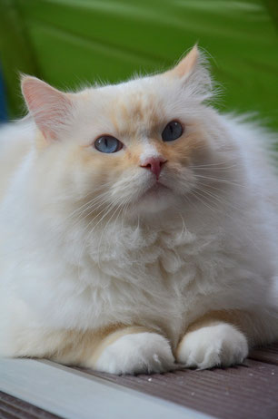 Flame point mitted Ragdoll Kater