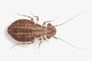 Trogiidae