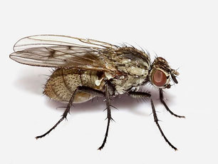 Anthomyiidae