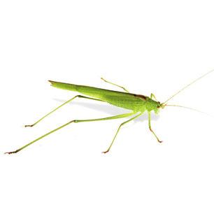 Phaneropteridae