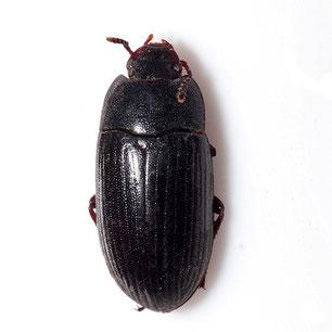 Alphitobius diaperinus