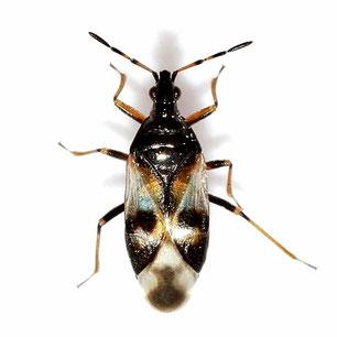 Anthocoridae