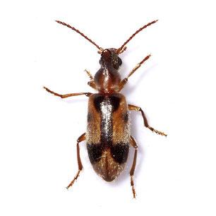 Anthicidae
