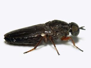 Scenopinidae