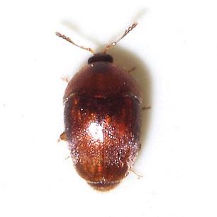 Corylophidae