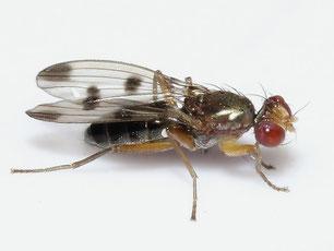 Opomyzidae