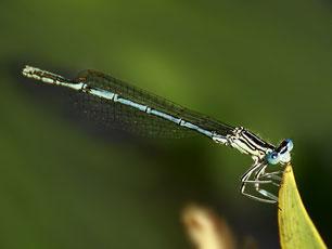 Platycnemididae