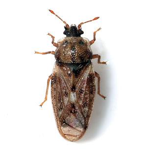 Piesmatidae